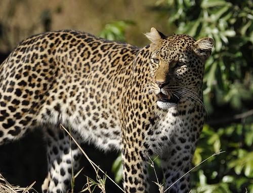 luipaard medium