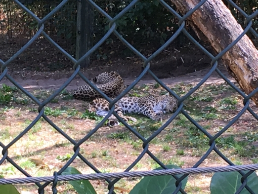 luie luipaarden
